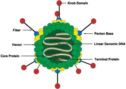 adenovirus آدنوویروس سیستم ایمنی ضعیف بیماری قلبی بیماری تنفسی