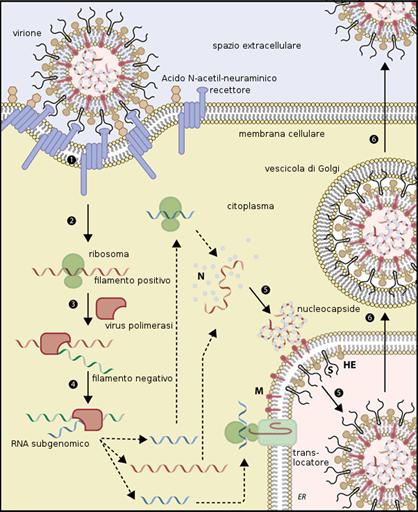 CoronaVirus Cycle