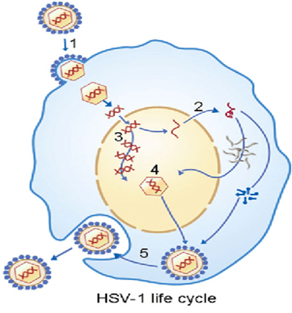 HSV-Cycle