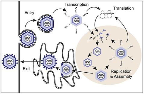 Rotavirus-Cycle